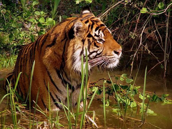 Nằm mơ thấy hổ có điềm báo gì tốt hay xấu